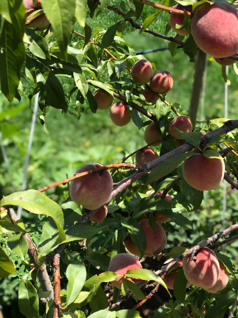 growing peaches in Colorado
